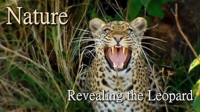 Revealing the Leopard   Nature Documentary HD