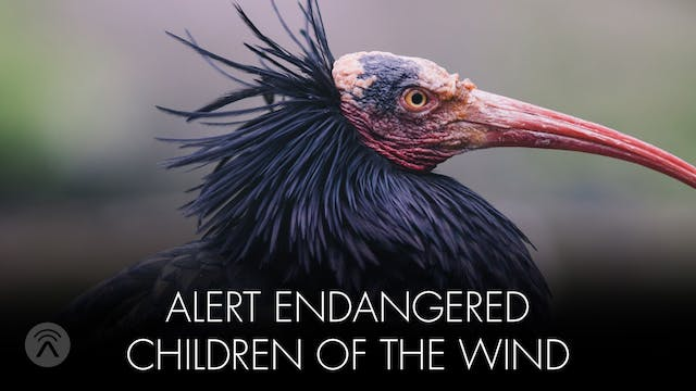 Alert Endangered Children of the Wind