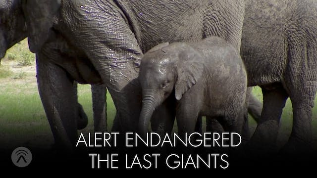 Alert Endangered Last Giants