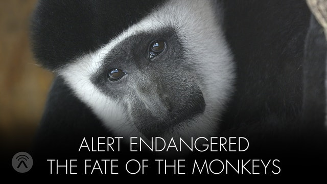 Alert Endangered Monkey's Fate