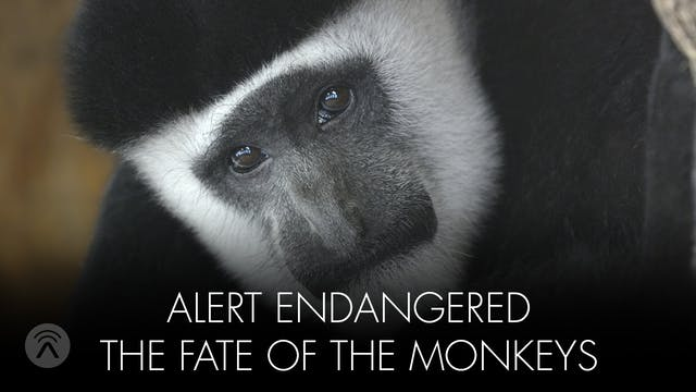 Alert Endangered Monkey's Fate