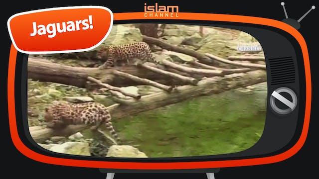Jaguars!