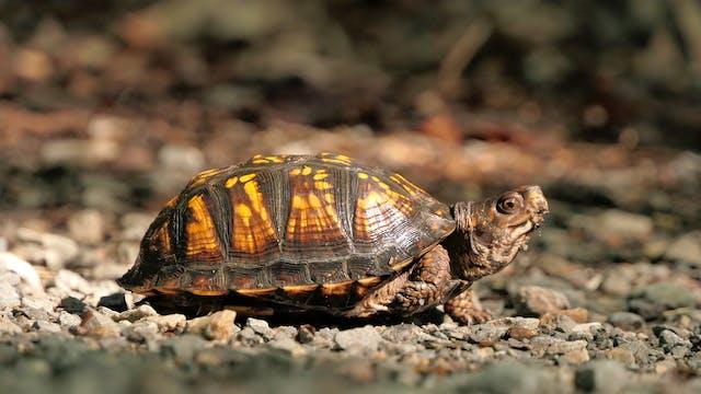 Pacman Frogs & Box Turtles