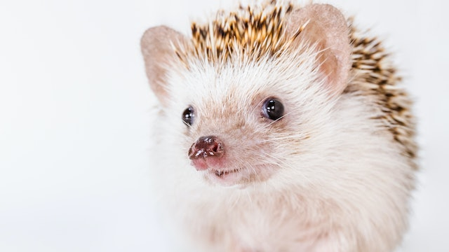 Four-toed Hedgehogs