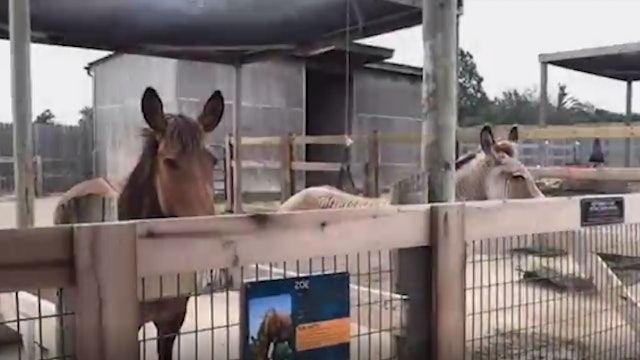 Zonkey and Zorse at the Creation Museum Zoo