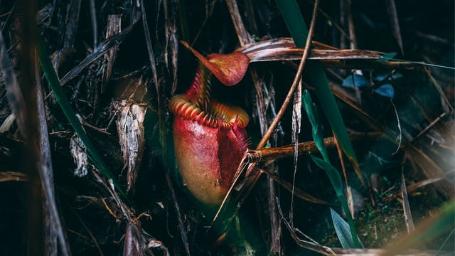 Cursed Plants: Pitchers & Sundews