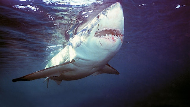 The Australia Great White Shark Expedition