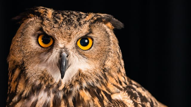 Eurasian Eagle Owls