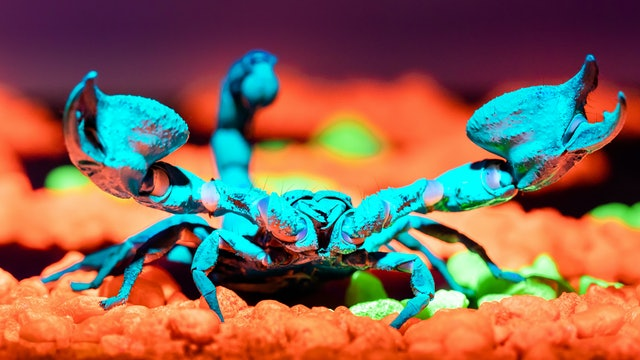 Asian Forest Scorpions