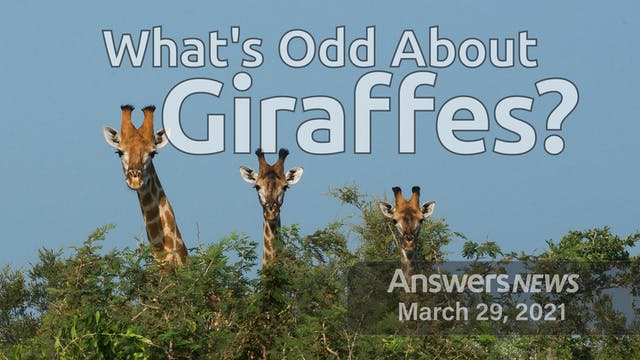 3/29 What's Odd About Giraffes?