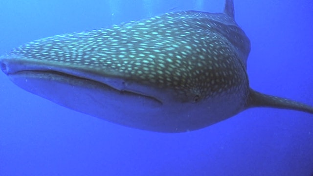 The Belize Whale Shark Expedition