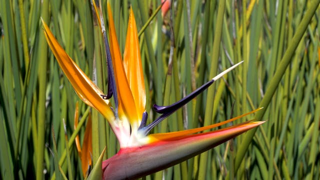 Creation's Chorus:  Kirstenbosch