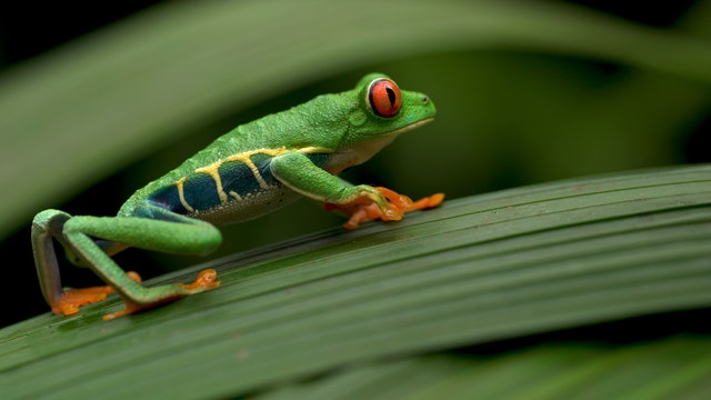 Creation's Chorus: Costa Rica - Frogs