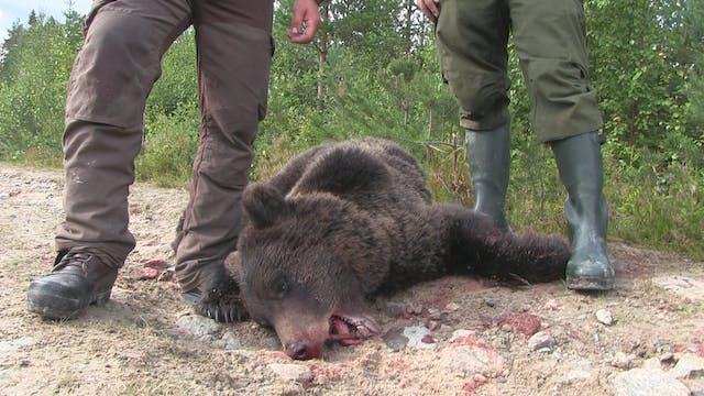 Björnjakten 2014 : Del 2