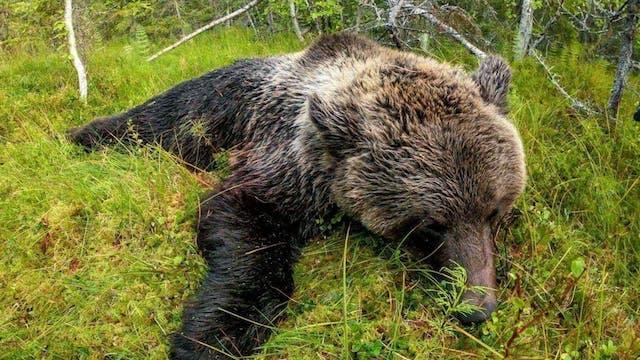 Åseletrappern : Björnjakt 1 Trailer