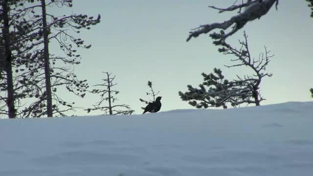 Jakt På Toppfågel i Finland