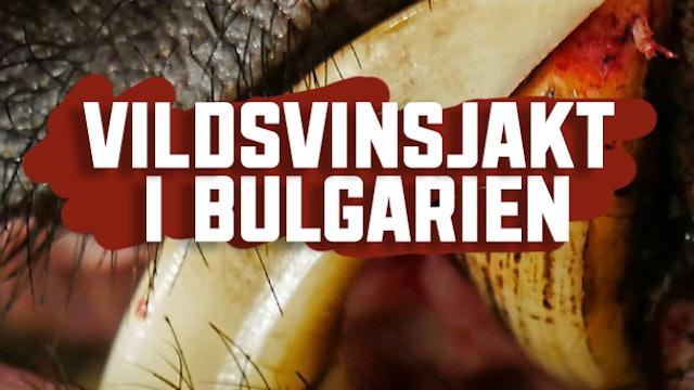 Vildsvinsjakt I Bulgarien