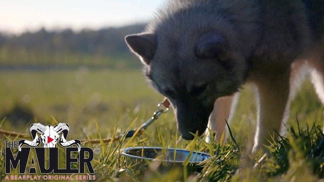 The Mauler Series : Bäverjakt och hundträning