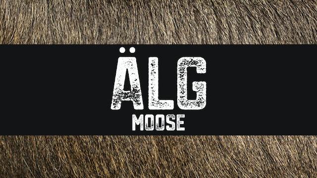 Älg | Moose