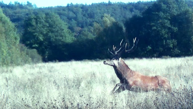 Vildmarken : Drevjakt i Polen