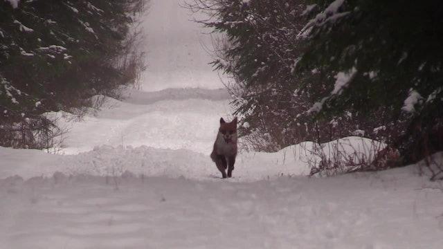 Stövar-SM För Rävhundar 2018 : Repris Söndag Fm
