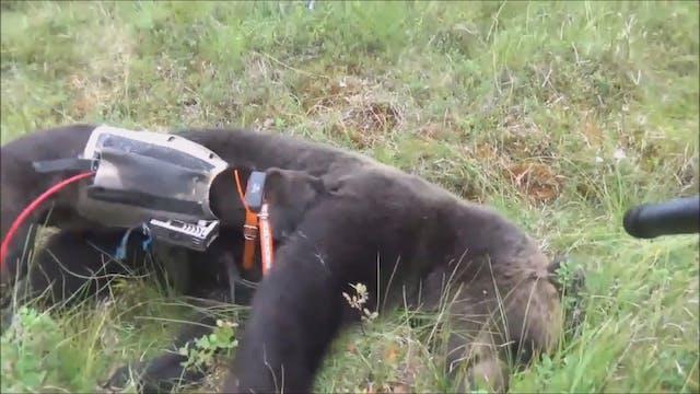 Björnjakten 2016 : Del 4