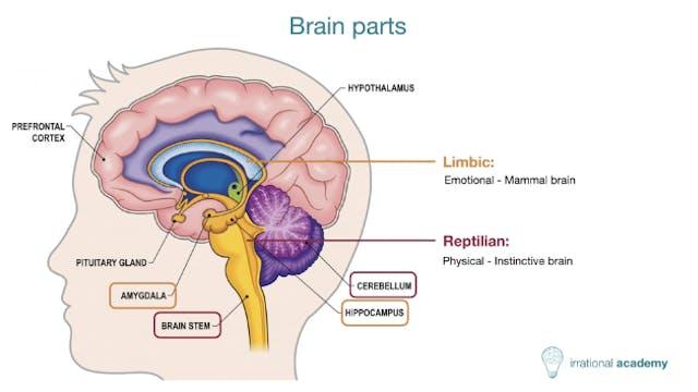 Deep dive into the human brain