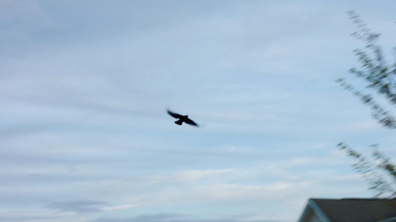 Slow Motion Bird Flying through Sky
