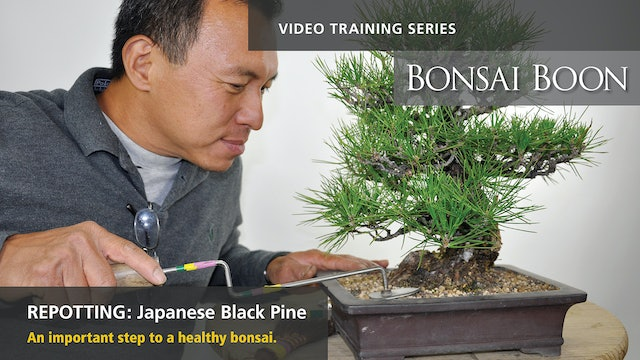 Repotting: Japanese Black Pine