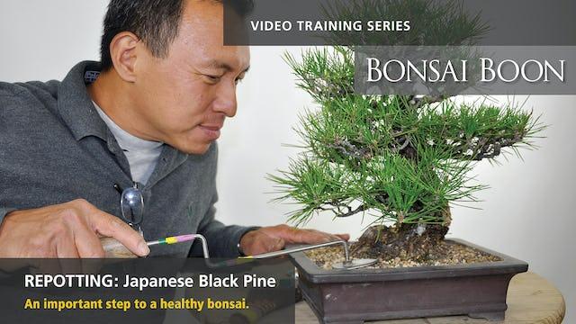Repotting: Japanese Black Pine