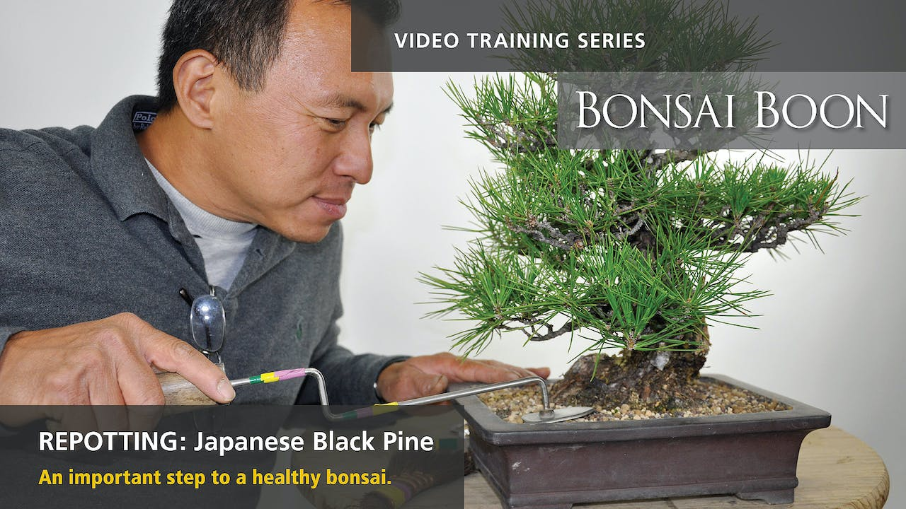 Repotting Japanese Black Pine Bonsai Boon
