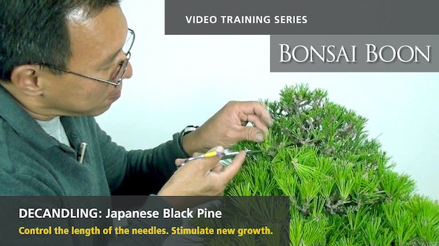 Decandling: Japanese Black Pine
