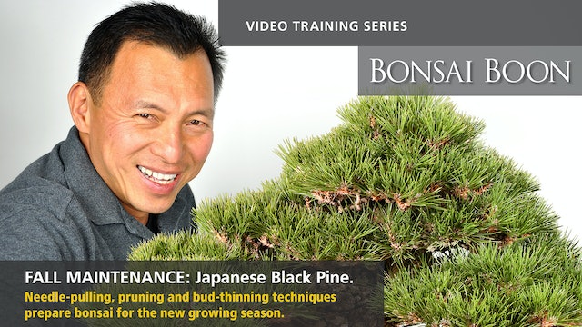 Fall Maintenance: Japanese Black Pine