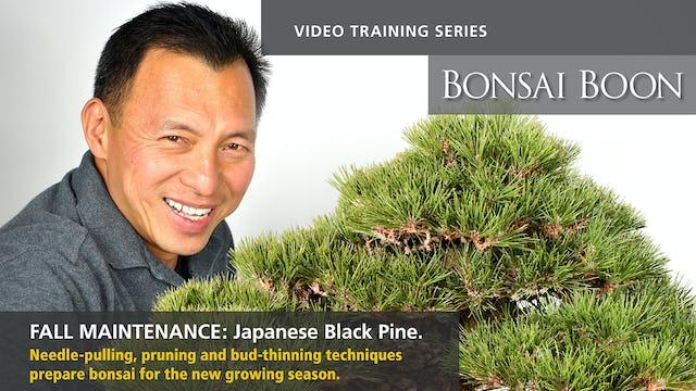 Fall Maintenance: Japanese Black Pine