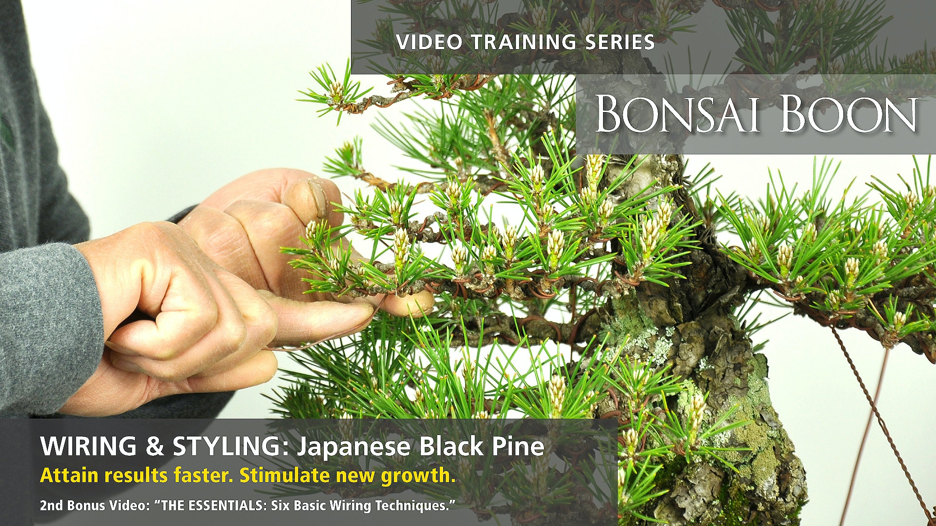 Wiring Bonsai Pdf Diagram World Ficus Tree And Styling Japanese Black Pine Boon