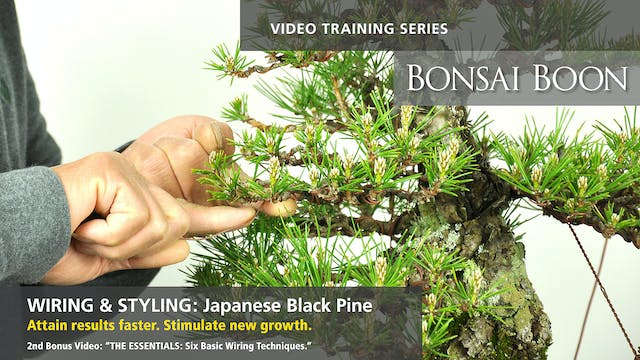 Wiring and Styling: Japanese Black Pine