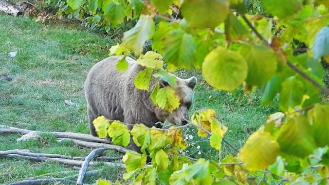 Aguardos de oso pardo en Croacia