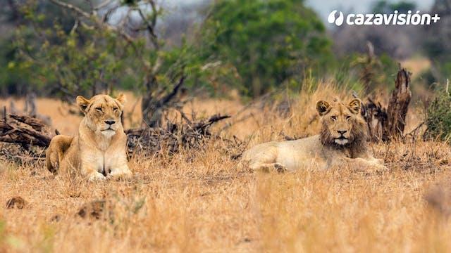 Safari de antílopes y león en Sudáfrica