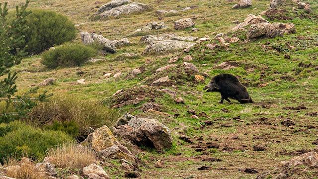 Montería de grandes jabalíes en Arrochais