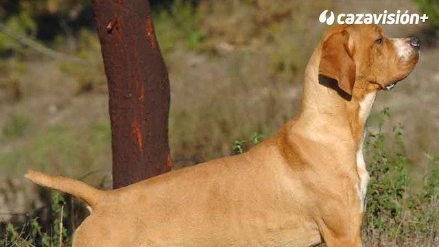 Razas Ibéricas: El perdiguero portugués, un perro polivalente
