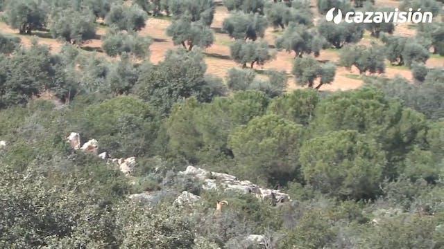 Rececho de arruí en Castilla la Mancha
