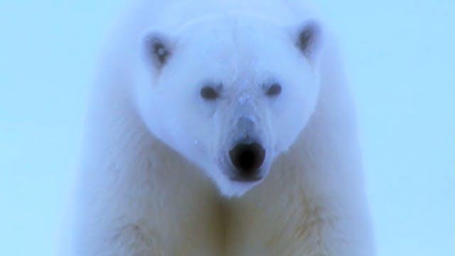 En el mundo blanco, tras el oso polar