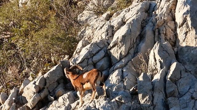 Rebecos y muflones junto al Mar Adriático