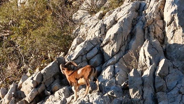 Rebecos y muflones junto al Mar Adria...