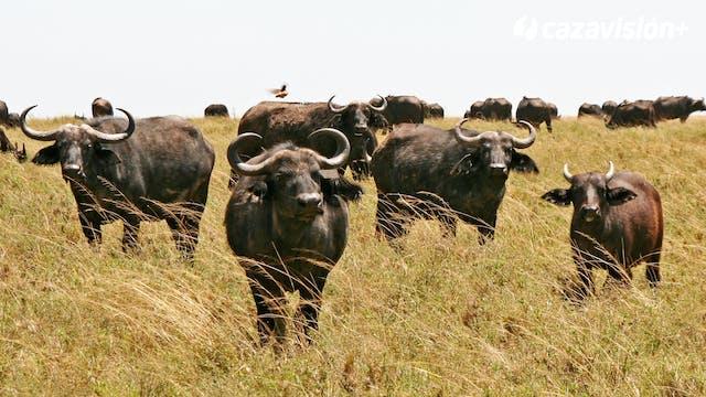 Tras el búfalo africano