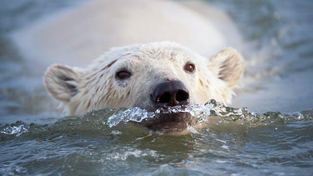Caza tradicional y moderna del oso bl...
