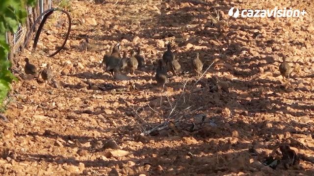 Tragacete tras las perdices salvajes de los Llanos del Caudillo