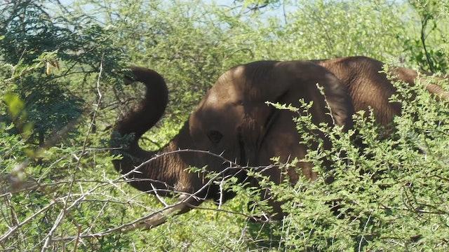 Los elefantes de Chivalawara