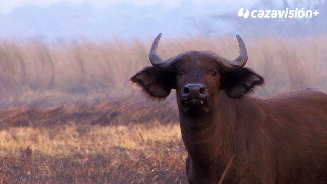 Búfalo e hipo, en las zonas pantanosas de Etiopía