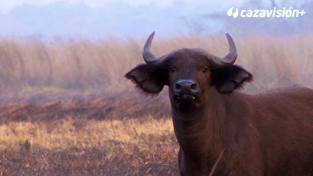 Búfalo e hipo, en las zonas pantanosa...